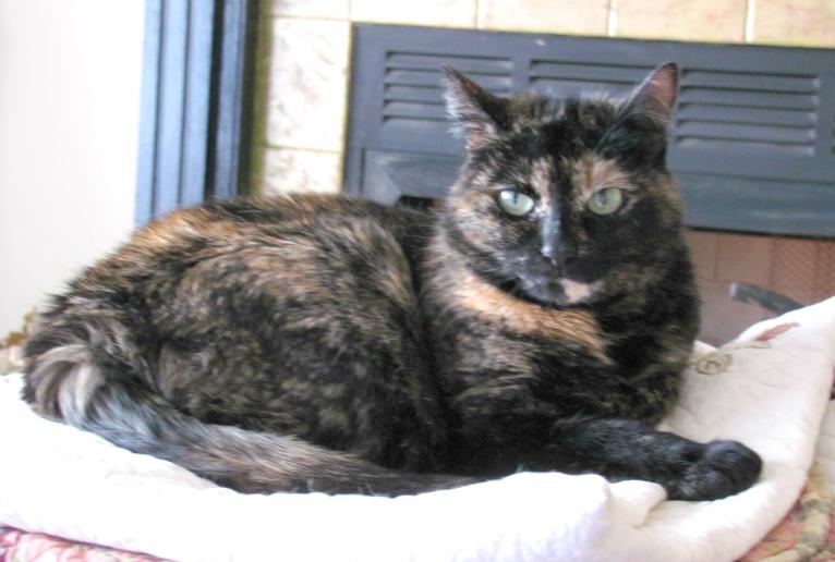zoey-tortoiseshell-cat-catty-corner-southern-charmed-blog