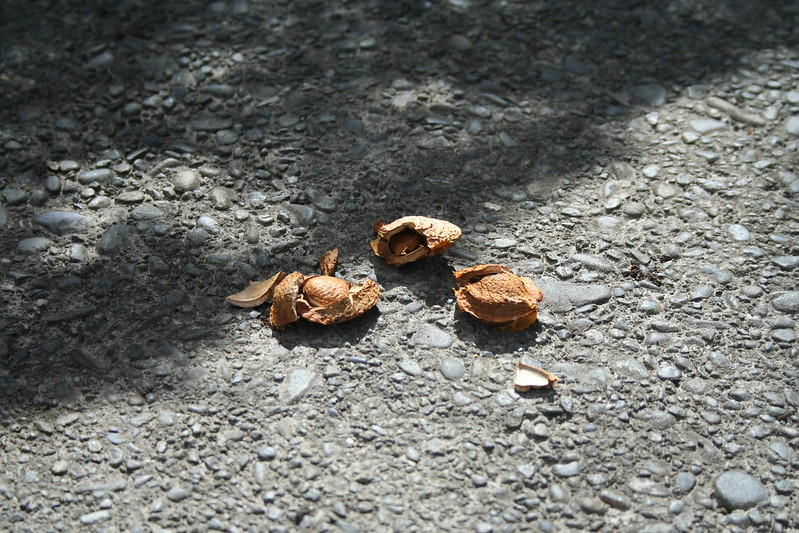 Apricot Seed, Unknown - 01 - 2014-01-16 - Seed From Existing Tree