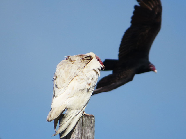Leucistic Turkey Vulture