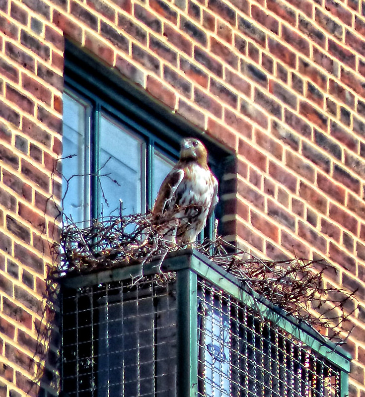 Adult red tail at the Christodora nest site