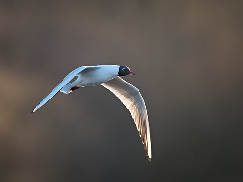 Black-headed Gull - dawn