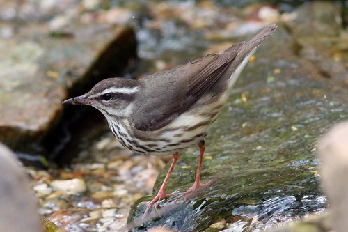 r Louisiana Waterthrush SPI 3-25-14 IMG_2434