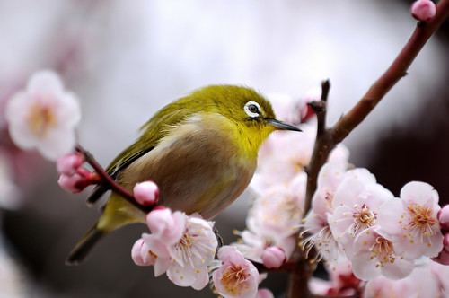Japanese White-eye and Ume blossoms