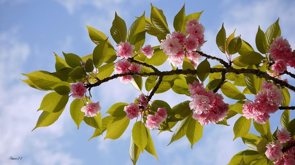 cerisier du japon encontre-jour 13822507455_aeca421d99_o