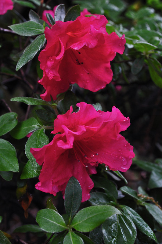 Rhododendron x 'Red Ruffles'