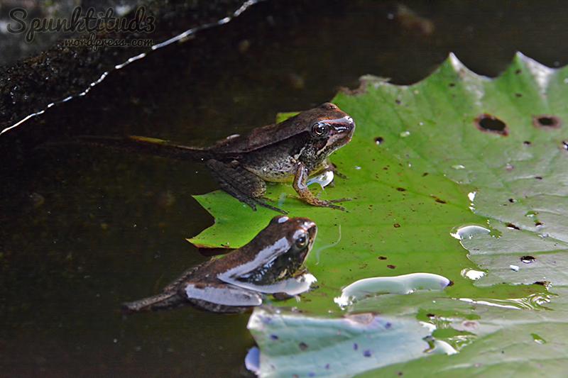 Frog Metamorphosis