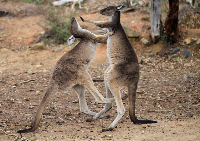TALK TO THE HAND!!! Western Grey Kangaroo's play fighting, Perth hills. Western Australia