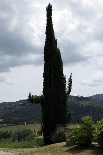 Torgiano: albero dalle braccia corte