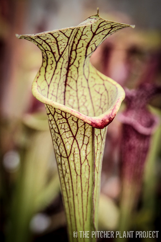 "Sarracenia flava ""widemouth"" x (leucophylla ""red"" x minor var. okefenokeensis)"