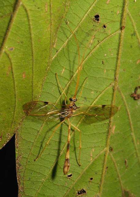 Ichneumon Wasp (Ophioninae, Ichneumonidae), Sony DSC-R1