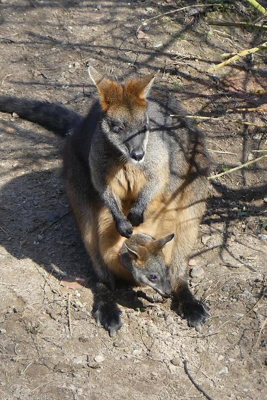 Sumpfwallaby, Zoo Hannover
