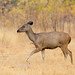 Sambar Deer by Thomas Retterath