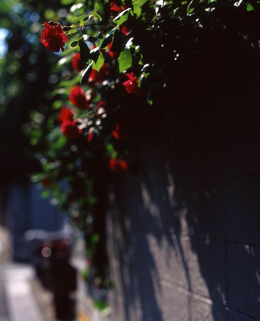 ブロック塀越しのバラ