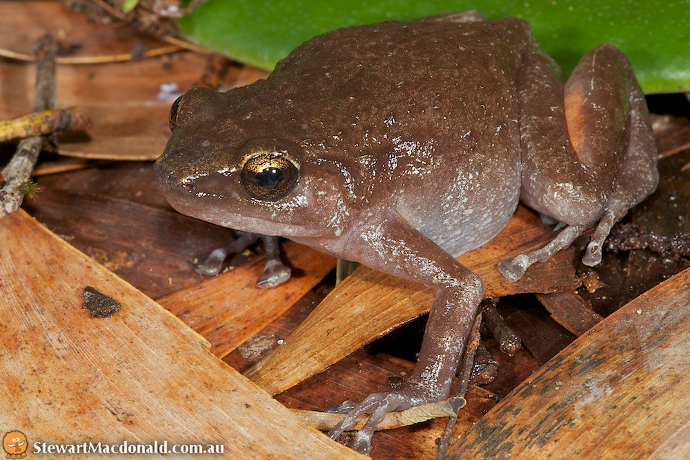Kutini boulder-frog (Cophixalus kulakula)