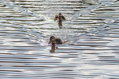 Two ducks coming to check