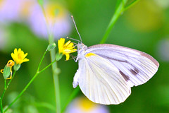 nectar(0.0), colias(0.0), arthropod(1.0), pollinator(1.0), animal(1.0), moths and butterflies(1.0), butterfly(1.0), flower(1.0), yellow(1.0), plant(1.0), nature(1.0), invertebrate(1.0), macro photography(1.0), wildflower(1.0), flora(1.0), fauna(1.0), cabbage butterfly(1.0), close-up(1.0), petal(1.0),