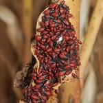 hársbodobács - Oxycarenus lavaterae