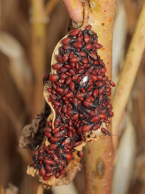 Oxycarenus lavaterae - hársbodobács