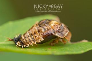 Tortoise Beetle pupa (Silana farinosa) - DSC_8136