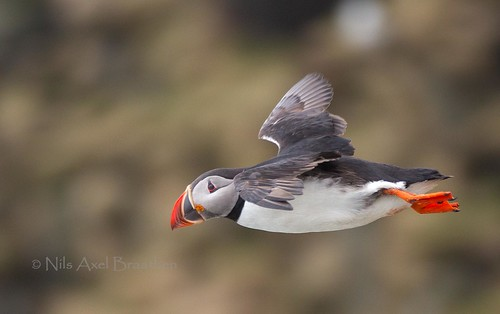 J77A1183 -- A Puffin in flight at Ingólfshöfði, on Iceland