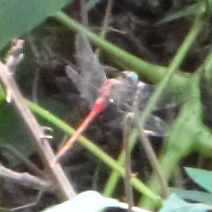 dragonfly birding missouri sympetrumambiguum otterslough