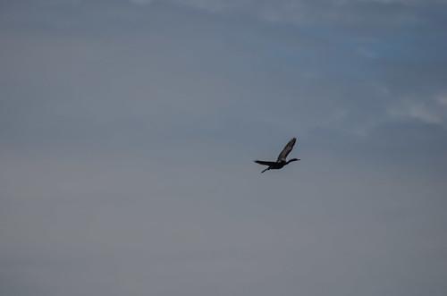 <p><i>Phalacrocorax pelagicus</i>, Phalacrocoracidae<br /> Tsawwassen Ferry Terminal, Tsawwassen, British Columbia, Canada<br /> Nikon D5100, 70-300 mm f/4.5-5.6<br /> September 7, 2013</p>
