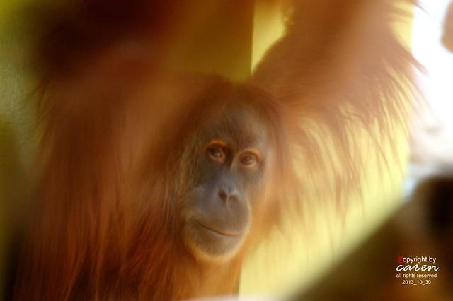 Sumatra Orang Utan Jahe 2013_10_30 339