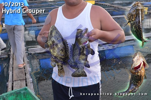 Hybrid Grouper (Giant x Tiger) by Kerapu Online