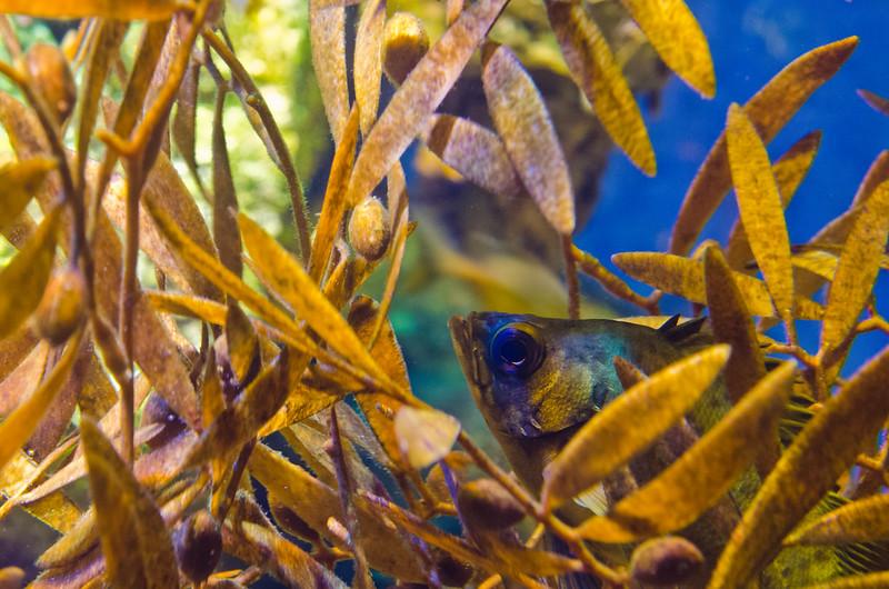 メバル Black rockfish