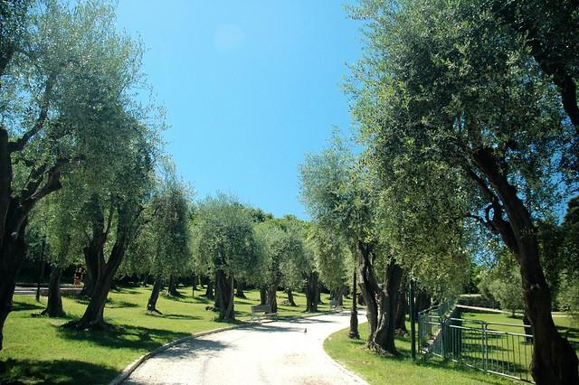 我出生长大的北方城市里没有橄榄树