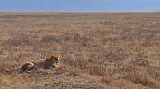 Tanzania - Ngorongoro Crater - lioness