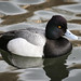 Lesser Scaup (Aythya affinis) by Photo Patty