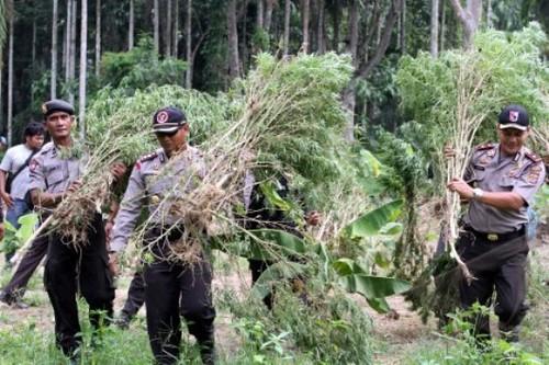 Polisi gerebek ladang Ganja di Sawang Aceh Utara