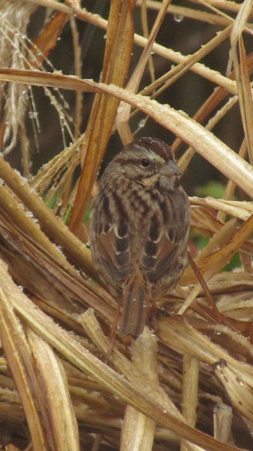 Savannah Sparrow 2:3:14