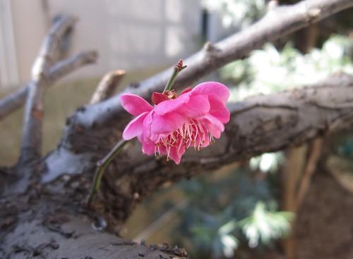 庭の梅の開花 2014年2月6日0939 by Poran111