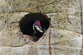 Panama: Baby Woodpecker Watching the Birders