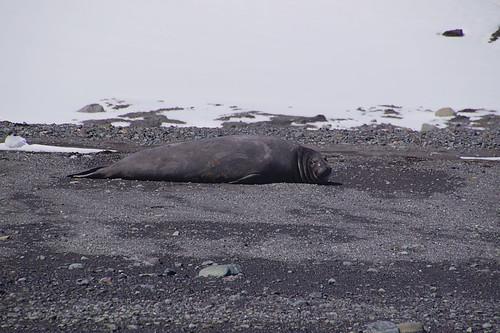 089 King George Island - Zodiaccruise Zeeolifant