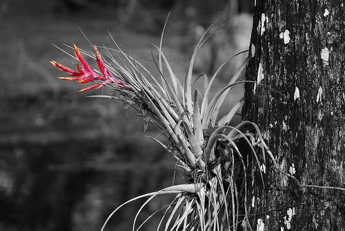 plant birds flora unitedstates florida tillandsia bromeliad epiphyte splashofcolor fortmyers nikond60 sixmilecypressslough epiphyticbromeliad