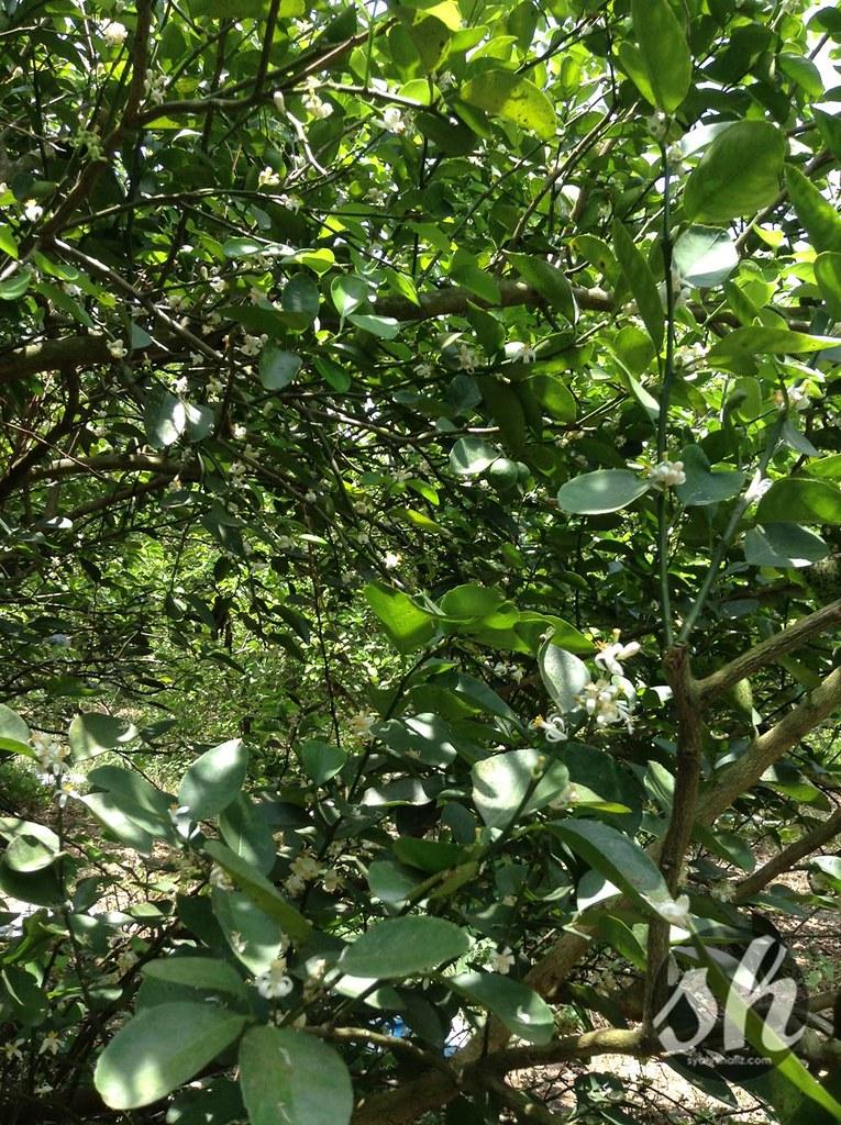 pokok limau nipis,khasiat limau nipis, kebaikan limau nipis, kelebihan limau nipis, cara menghilangkan kelemumur, cara menghilangkan   jerawat, kecantikan, gaya hidup, limau nipis, anak pokok limau nipis, anak pokok limau, tut pokok limau nipis, video tanaman limau nipis,   key lime, jarak tanaman limau nipis, harga anak pokok limau nipis, tanaman limau nipis, agro, usahawantani limau nipis, cara tut markot   pokok, panduan pembajaan pokok, cara penjagaan pokok limau nipis