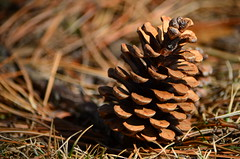larch, flower, pine, leaf, grass, wood, nature, macro photography, flora, close-up, conifer cone, fir, spruce, twig,