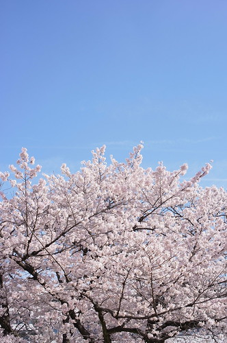 Cherry Blossom in Nagoya city.