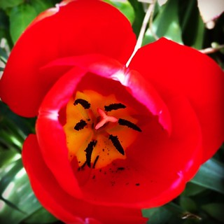Spring flower blooming in garden today #blackrock #dunlaoghaire #dublin #ireland #monkstown #irish #flora #flowers #red