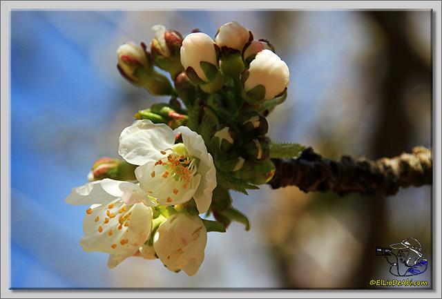 6 Valle de Caderechas Floración de los cerezos