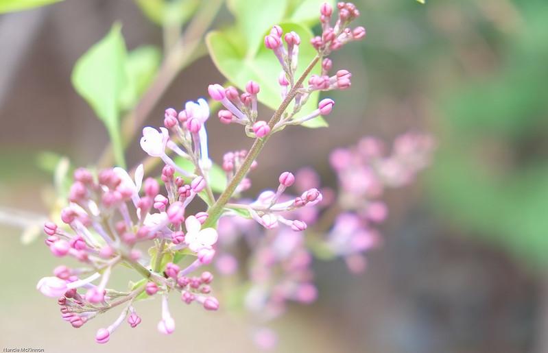 Lilacs in Daejeon
