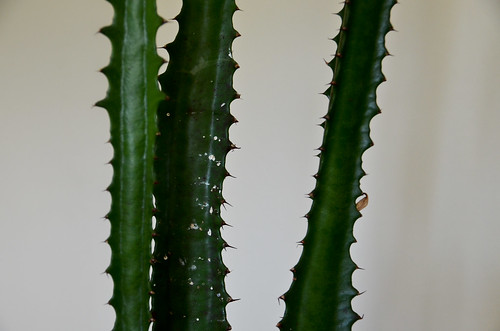 3 Preparations: Be very careful transporting. The cactus will stab itself and release its semi-toxic 'milk' juices