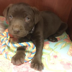 Awww #puppy #chocolab at the office today!!