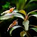 Red Tiger Bee,TiBee, Fancy Tiger shrimp