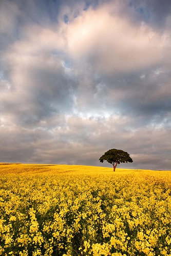 nottingham sunset tree field dusk crop nottinghamshire lonelytree rapeseed goldenlight oxton canon60d landscapeshotinportraitformat