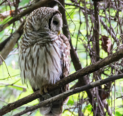 Barred Owl - Greensboro, NC