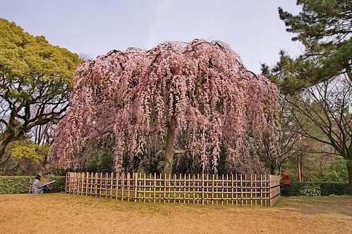【写真】桜 : 京都御苑
